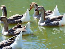 Ducks. Flock of ducks at a pond stock photography