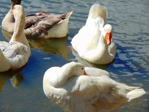 Ducks. Flock of ducks at a pond stock images