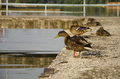 Ducks Royalty Free Stock Photos