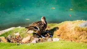 A Duck in One of San Diego's Pond's. SAN DIEGO - JULY 13, 2016 - Ducks and fish found in a man-made pond on July 13, 2016, in San Diego royalty free stock images