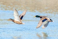 Ducks in pair flying over water. Ducks fly low over the river. Mallard ducks in fast flight.  Photographed with telephoto lens 500mm Stock Photo
