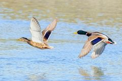 Ducks in pair flying over water. Ducks fly low over the river. Mallard ducks in fast flight.  Photographed with telephoto lens 500mm Stock Image