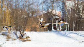 Ducks fly in winter Royalty Free Stock Image