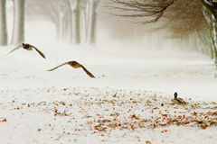 Ducks flying by Royalty Free Stock Image