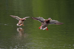 Ducks flying above the surface of the water Royalty Free Stock Photography