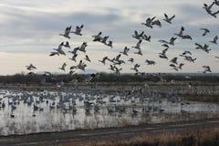 Ducks flying away (duck and goose). Ducks flying away in Bosque del Apache Stock Image