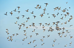 Ducks flying in a blue sky Royalty Free Stock Photo