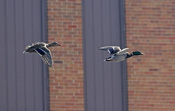Ducks Flying with Building Background. A pair of Mallard ducks flying past a brick building Royalty Free Stock Photography