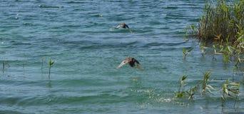 Ducks flying 1 Royalty Free Stock Photo