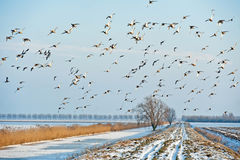 Ducks flying over a canal in winter Royalty Free Stock Image