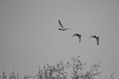 Ducks flying over Hyde Park in London, England. A black and white image of three ducks flying Royalty Free Stock Photo