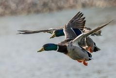 Ducks flying over a lake Stock Photo