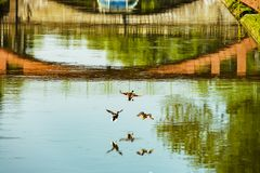 Ducks flying over the river Ill in Strasbourg. France Royalty Free Stock Photography