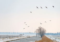 Ducks flying over a snowy canal Stock Photography