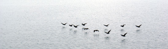 Ducks flying over water Royalty Free Stock Images