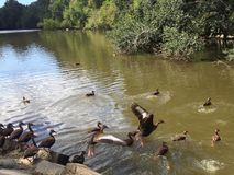 Ducks flying in a park in Louisiana. Two brown bellied whistling ducks take flight Stock Photo