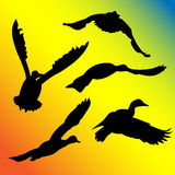 Ducks flying silhouette Stock Photography