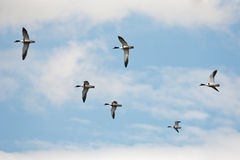 Ducks flying in sky Royalty Free Stock Photo