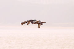 Ducks flying Royalty Free Stock Photos