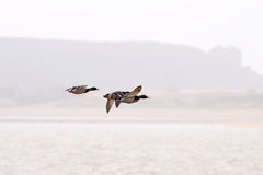 Ducks flying Royalty Free Stock Photo