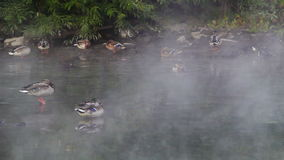Ducks in the fog. Ducks swim in the river in a fog. Early morning.. Video stock video