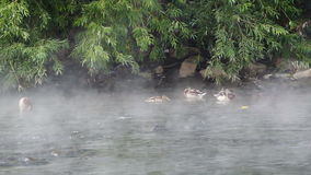 Ducks in the fog stock footage