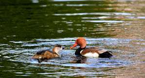 Ducks foraging Stock Photos