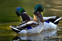 Ducks foraging Royalty Free Stock Photos