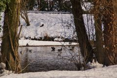 Ducks and a forest with some snow. Landscape wintry, a forest with some snow. In background there is a lake with an icy water. It is in the day, by clear time stock photos