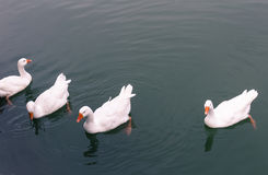 Ducks. Four swimming and curious ducks Royalty Free Stock Photography