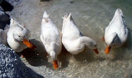Ducks. Four white ducks in a lake Royalty Free Stock Images
