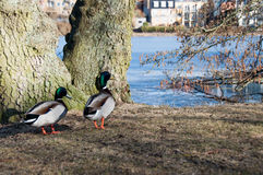 Ducks at Frederiksborg Castle area at Hillerod. Denmark, 2013 royalty free stock photos