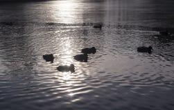 Ducks on the park lake at autumn sunset. background, animal. Ducks on the freezing park lake at autumn sunset. background, animal Stock Photo