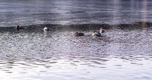 Ducks on the freezing park lake at autumn. background, animal. Ducks on the freezing park lake at late autumn. background, animal Royalty Free Stock Photos