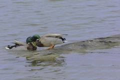 Ducks friendship. stock photo