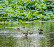 Ducks  frolic Royalty Free Stock Photo