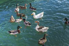Ducks Swimming. Isolated Image. Ducks frollicking in the Mediterranean Sea. Stock Image royalty free stock photo