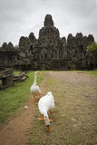 Ducks in front of the temple  at angkor, c Royalty Free Stock Image