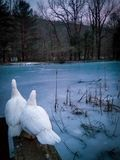 Ducks on a frozen pond stock photography