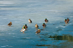 Ducks on the Frozen Fusine Lake - Italy. A group of male and female mallard ducks on the frozen lake of Fusine Lago di Fusine at the end of winter. Julian Alps Stock Image
