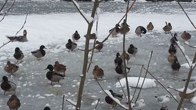 Ducks ON A FROZEN LAKE Stock Image