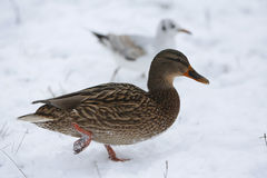 Ducks on frozen lake Royalty Free Stock Photos