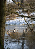 Ducks on a Frozen Lake. In Derbyshire, England Royalty Free Stock Photography