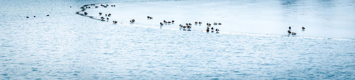 Ducks on Frozen Lake Royalty Free Stock Photography