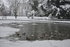 Ducks on the frozen lake in Jephson Gardens, Leamington Spa, UK - 10 december 2017. The ducks are searching for food on the frozen lake, photo taken on a cold Stock Photo
