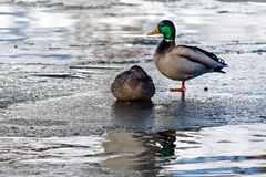 Ducks on a frozen lake. A pair of Mallard ducks resting on the ice on a frozen lake Royalty Free Stock Images