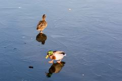 Ducks on frozen lake. Pair of ducks is walking at the frozen reflecting water in the winter sun Stock Photos