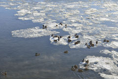 Ducks on the frozen Moscow River Stock Image