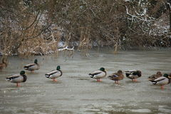 Ducks on a frozen pond. Group of ducks on a frozen pond Royalty Free Stock Photos