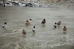 Ducks on a frozen pond. Group of ducks on a frozen pond Royalty Free Stock Photography